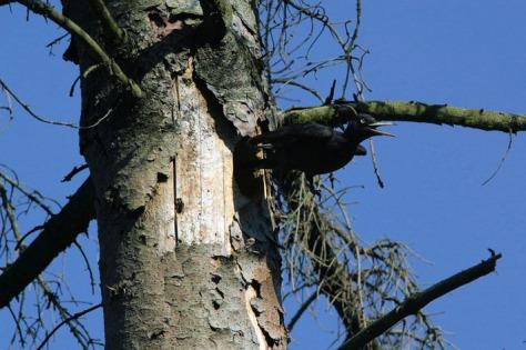 Figura 19: Picchio nero femmina che si invola dalla cavità nido su abete rosso morto (anno 2007). Foto Silvio Colaone