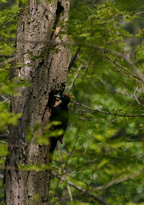Figura 20: maschio di Picchio nero al nido su robinia (anno 2009). Foto Silvio Colaone
