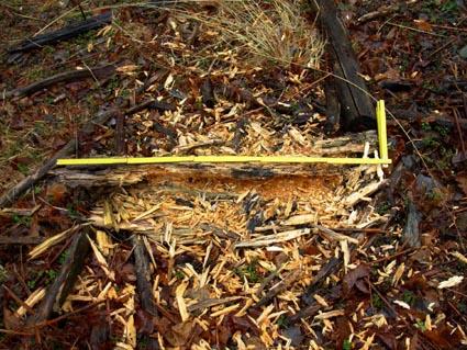 Figura 23: scavo alimentare su tronco di castagno a terra. Misura di riferimento di 1 metro Foto Fabio Saporetti