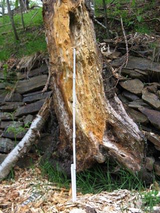 Figura 24: scavo alimentare su tronco di betulla parzialmente morta. Misura di riferimento di 1 metro. Foto Fabio Saporetti