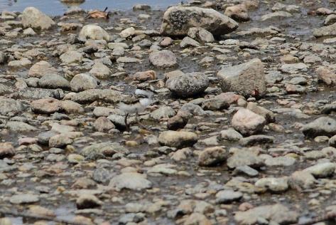 Figura 22: un pullo di 2 giorni mentre si muove tra i ciottoli dell'isola per alimentarsi. Foto di Cristiano Crolle
