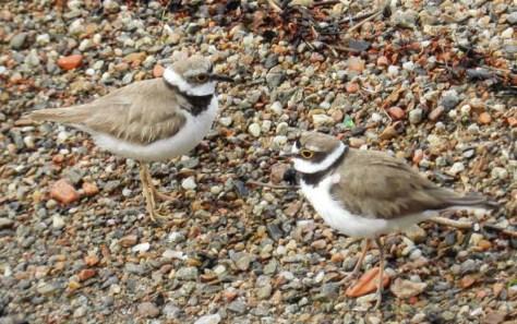 Figura 1-giugno 2014, isola del fiume Tresa: la coppia nidificante (femmina a sinistra, maschio a destra). Foto di Fabio Saporetti