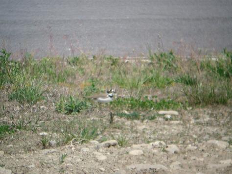 Figura 12: area F. Un individuo nei pressi del territorio riproduttivo; sullo sfondo la pista d'asfalto. Foto di Andrea Vidolini