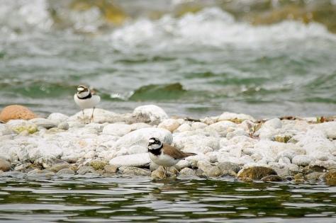 Figura 11: coppia sul fiume Ticino, in comune di Somma Lombardo, anno 2014. Foto di Giuseppe Taverna