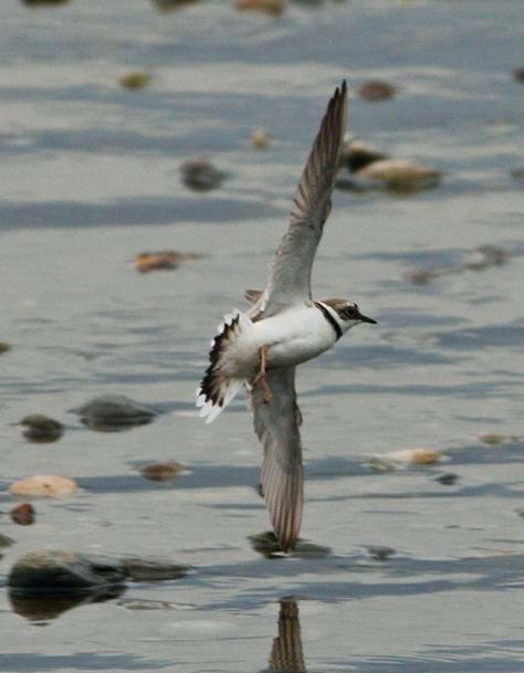 Figura 18: maschio in volo. Foto di Cristiano Crolle